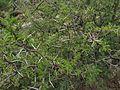 Detalles de un mezquite en Aguascalientes 04.jpg