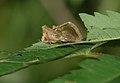 Diachrysia chrysitis 001.jpg