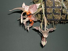 Dick Hartley DSCN2933 - Stanhopea dodsoniana.jpg