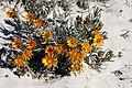 Didelta carnosa var. tomentosa (Asteraceae) (37468801902).jpg