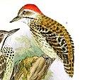 Die Vögel Afrikas (6425133621), Dendropicos fuscescens lafresnayei.jpg
