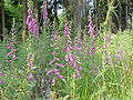 Digitalis purpurea4.jpg