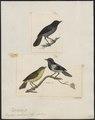 Diglossa carbonaria - 1700-1880 - Print - Iconographia Zoologica - Special Collections University of Amsterdam - UBA01 IZ19000405.tif