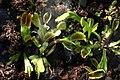 Dionaea muscipula, Jardin botanique Berne - img 37818.jpg