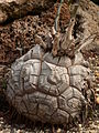 Dioscorea elephantipes, Phipps Conservatory, 2015-10-01, 01.jpg