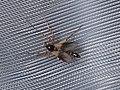 Diptera sp. (43849249531).jpg