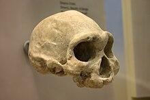 Dmanisi Skull