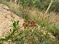 Dodonaea viscosa (5369007830).jpg