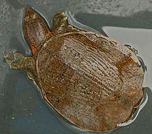 Tartaruga Dal Guscio Molle.Trionychidae Wikipedia