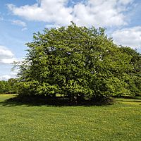 Domed tree in Hatfield Forest Essex England 2.jpg