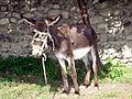 Donkey Wart (3846223893).jpg
