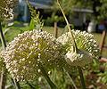 Double Leek Flower Head 2400px.jpg
