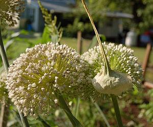 Leek - Image: Double Leek Flower Head 2400px