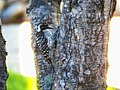 Downy woodpecker (35317905430).jpg