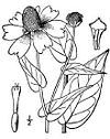 Dracopis.amplexicaulis01