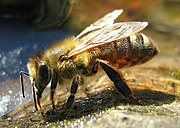 180px Drinking Bee - جميع اسماء أصوات الحيوانات ومعلومات عنها بالصور