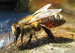 Pszczoła pijąca wodę