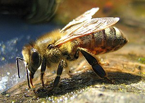 Melittology - A honeybee drinking water