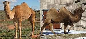 Dromedary and bactrian camels.jpg