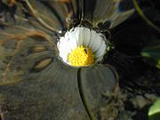 This daisy is under the water level, which has risen gently and smoothly. Surface tension prevents the water from submerging the flower.