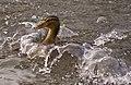 Duck has landed (4376183304).jpg