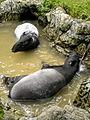Dusit zoo tapir.jpg