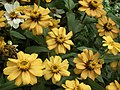 Dwarf Zinnia from Lalbagh flower show Aug 2013 8235.JPG