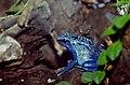 Dyeing Poison Frog (Dendrobates tinctorius)(captive specimen) (36361919331).jpg