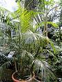 Dypsis lutescens - Palmengarten Frankfurt - DSC01829.JPG