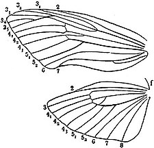 EB1911 Hexapoda - Wing-Neuration in a Cossid Moth.jpg
