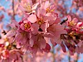 Early Pink Cherry Blossoms (5566246499).jpg