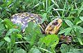 Eastern Box Turtle (Terrapene carolina carolina) - Fairfax - 01.JPG