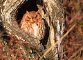 Eastern Screech Owl of Grafton (31714748786).jpg