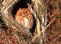Eastern Screech Owl of Grafton (31714748786).jpg