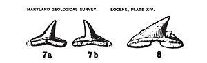 Shark tooth - Eastman1901-web
