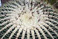 Echinocactus grusonii 3zz.jpg