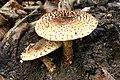 Echinoderma asperum20061022wa.jpg