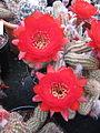 Echinopsis chamaecereus (Peanut Cactus) (3644625127).jpg