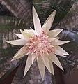 Echmea wstęgowata (Aechmea fasciata) jasny kwiat 01.jpg