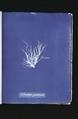 Ectocarpus granulosus (NYPL b11861683-419529).tiff