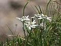 Edelweiss, South Tyrol 01.jpg