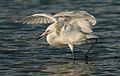 Egret (9151949587).jpg