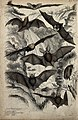 Eight different specimen of bats shown with spread and folde Wellcome V0020909ER.jpg