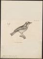 Elainia olivacea - 1700-1880 - Print - Iconographia Zoologica - Special Collections University of Amsterdam - UBA01 IZ16500301.tif