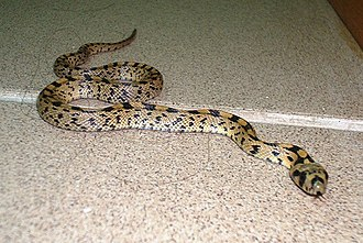 Ladder snake - Image: Elaphe scalaris in office