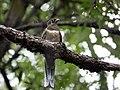 Elegant Trogon (female) Huachuca Canyon Sierra Vista AZ 2018-08-26 10-26-22-2 (48038442413).jpg