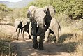 Elephant on the road, North West Province (6253211474).jpg