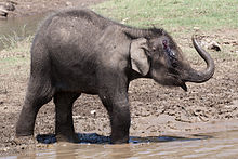 Elephas maximus calf injured (Nagarhole, 2010).jpg