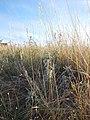 Elymus albicans (21492767728).jpg