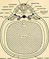 Embryology (1949) (20662846714).jpg